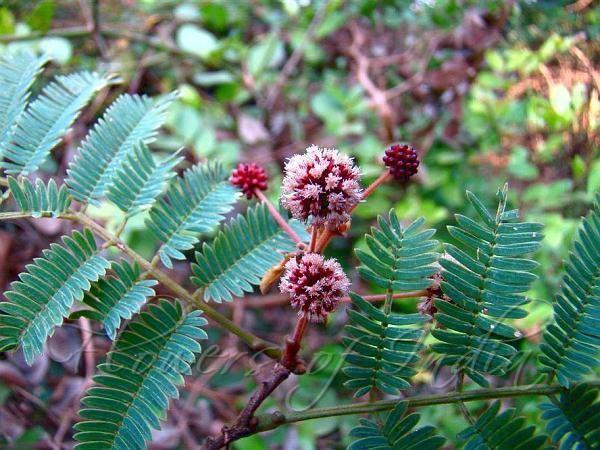 Acacia concinna Acacia concinna Shikakai