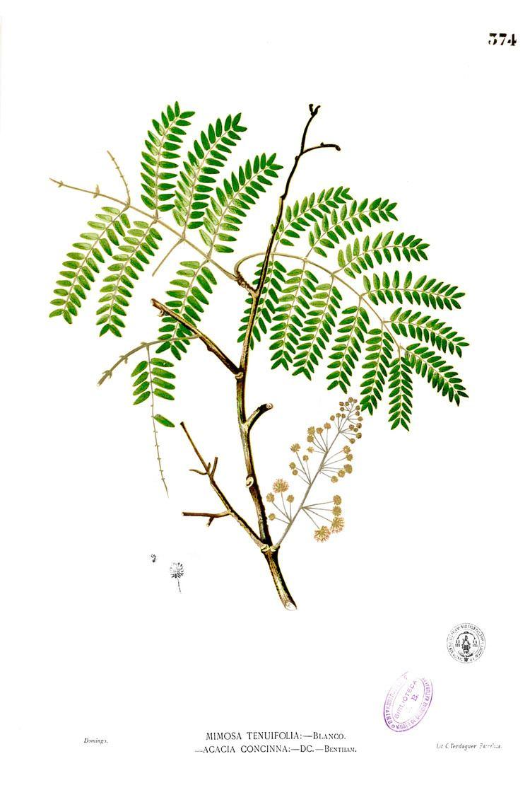 Acacia concinna httpsuploadwikimediaorgwikipediacommonsaa