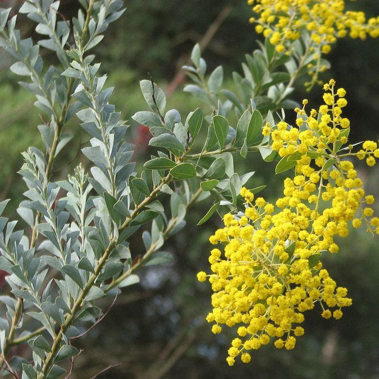 Acacia cultriformis Australian Seed ACACIA cultriformis