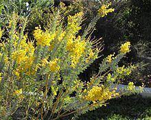 Acacia cultriformis httpsuploadwikimediaorgwikipediacommonsthu