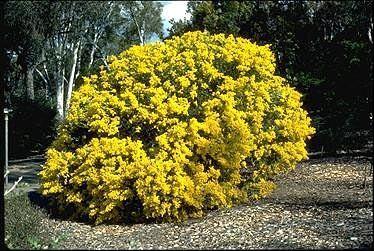 Acacia cultriformis Australian National Botanic Gardens Growing Acacia