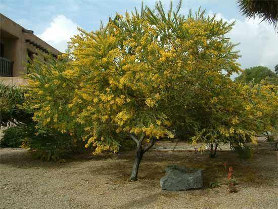Acacia cultriformis Acaciacultriformis Knifeleaf seaside salt tolerant drought
