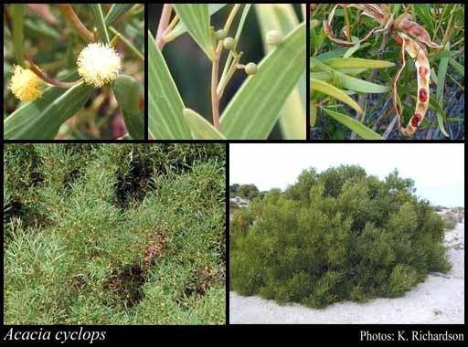 Acacia cyclops httpsflorabasedpawwagovausciencetimage32
