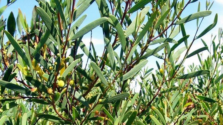 Acacia cyclops Acacia cyclops coastal wattle Factsheet invasoraspt