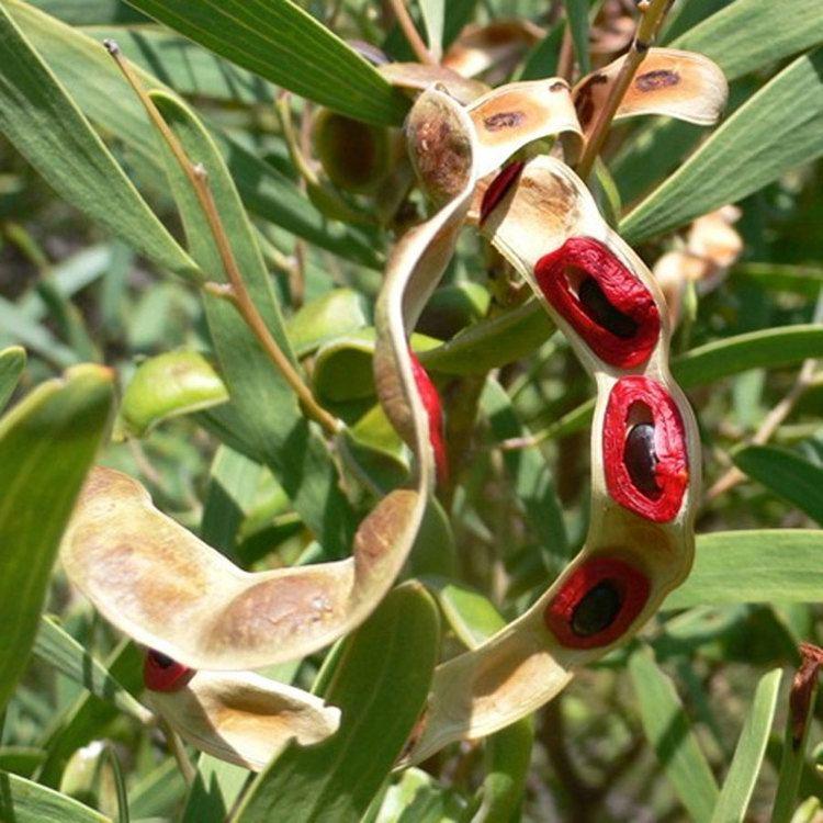 Acacia cyclops Australian Seed ACACIA cyclops