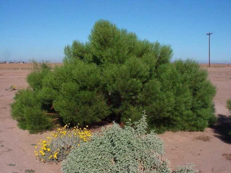 Acacia cyclops Acacia cyclopsArid Zone Trees