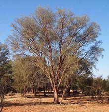 Acacia cyperophylla httpsuploadwikimediaorgwikipediacommonsthu