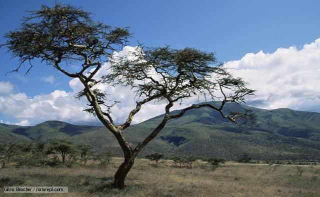 Acacia BBC Nature Acacias videos news and facts