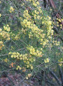 Acacia flexifolia httpsuploadwikimediaorgwikipediacommonsthu