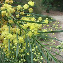 Acacia flocktoniae httpsuploadwikimediaorgwikipediacommonsthu