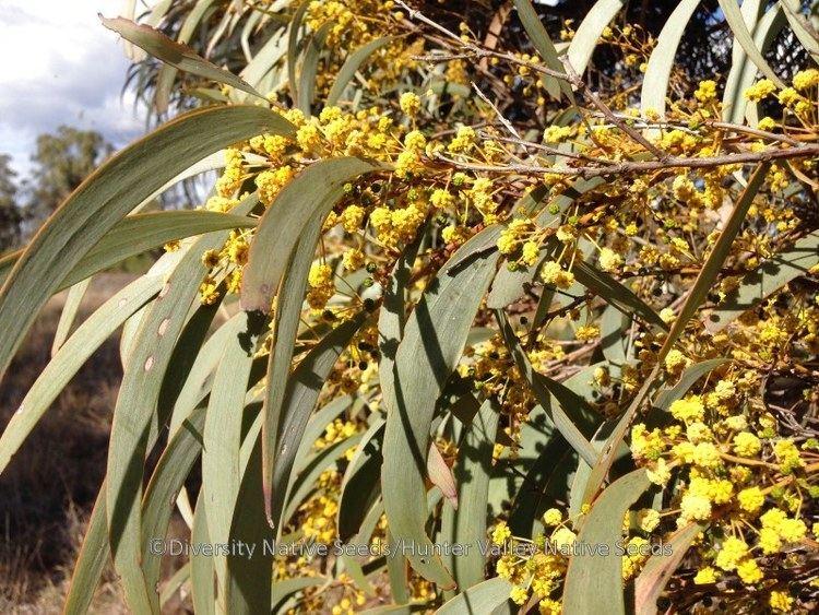 Acacia harpophylla Acacia harpophylla brigalow Diversity Native Seeds