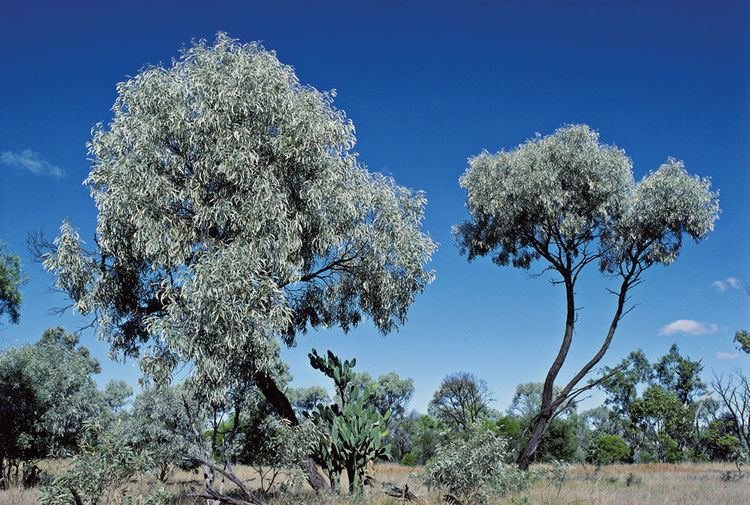 Acacia harpophylla Acacia harpophylla mdash in need of protection Conservation