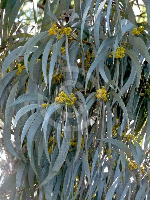 Acacia harpophylla Acacia harpophylla Brigalow information amp photos