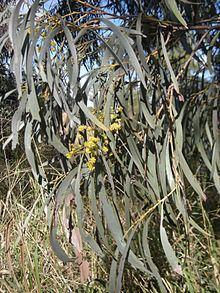 Acacia harpophylla httpsuploadwikimediaorgwikipediacommonsthu