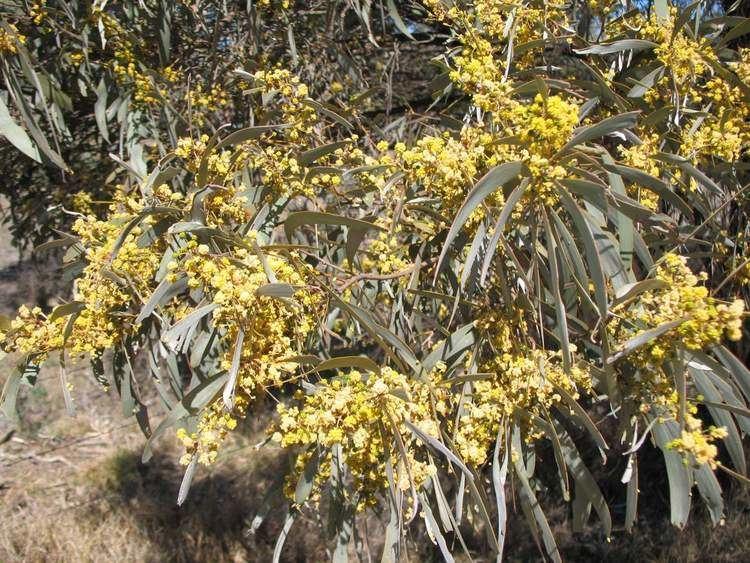 Acacia harpophylla Brigalow