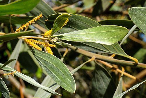 Acacia holosericea Consortium of Intermountain Herbaria Acacia holosericea
