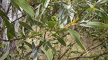 Acacia holosericea Acacia holosericea Wikipedia