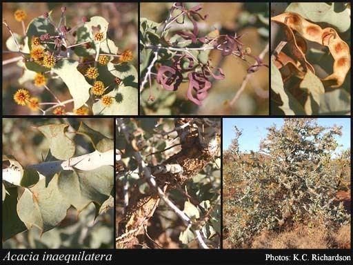 Acacia inaequilatera Acacia inaequilatera Domin FloraBase Flora of Western Australia