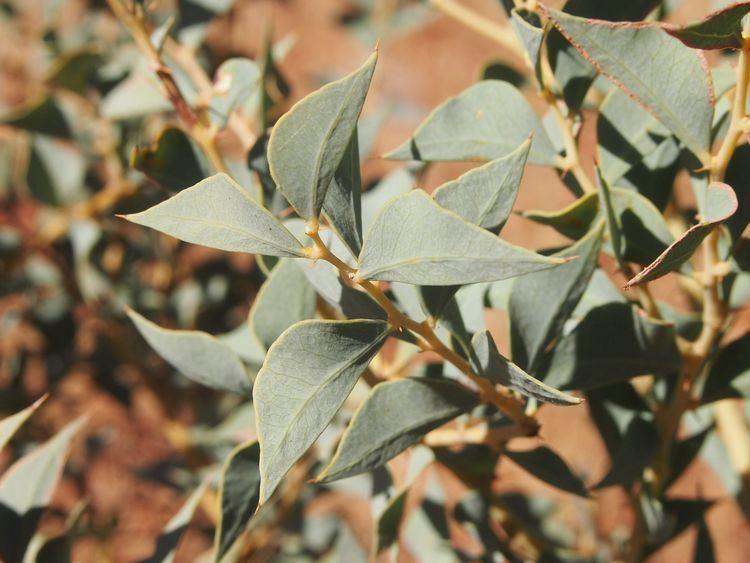 Acacia inaequilatera FileAcacia inaequilatera foliagejpg Wikimedia Commons