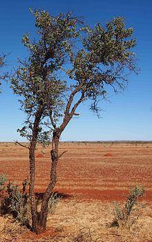 Acacia inaequilatera httpsuploadwikimediaorgwikipediacommonsthu