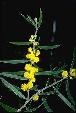 Acacia lanigera Australian National Botanic Gardens Growing Acacia