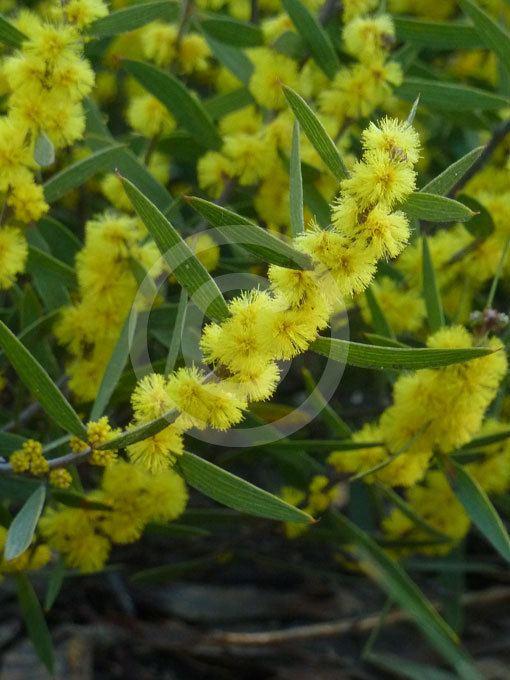 Acacia lanigera Acacia lanigera Woolly Wattle Hairy Wattle information amp photos
