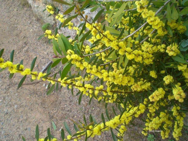 Acacia lanigera Woolly Wattle Strathbogie Ranges Nature View