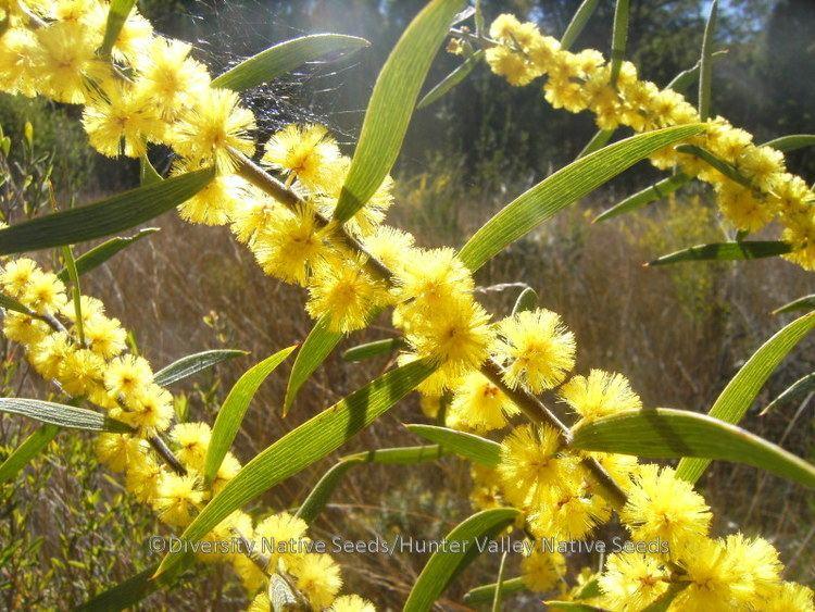 Acacia lanigera Acacia lanigera hairy wattle Diversity Native Seeds