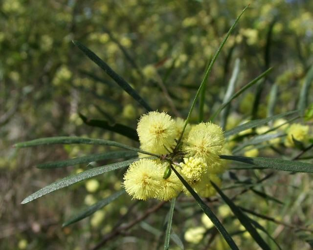 Acacia leprosa Small Trees