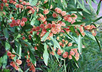 Acacia leprosa Acacia leprosa and 39Scarlet Blaze39