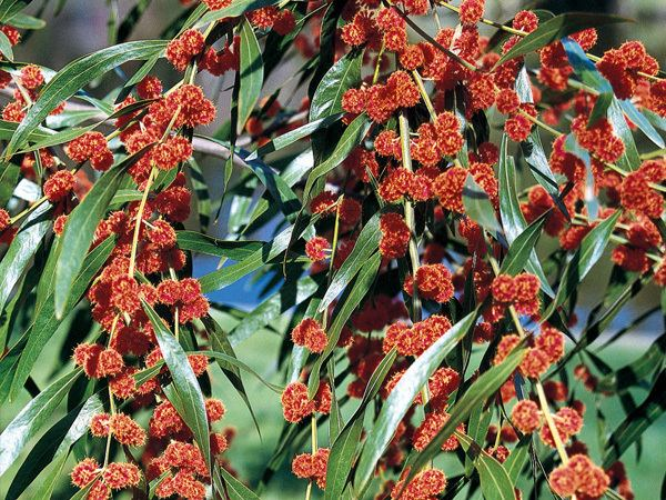 Acacia leprosa Cinnamon Wattle Acacia leprosa 39Scarlet Blaze39