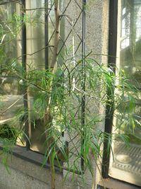 Acacia leprosa httpsuploadwikimediaorgwikipediacommonsthu