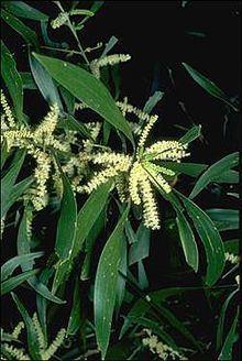 Acacia maidenii httpsuploadwikimediaorgwikipediacommonsthu