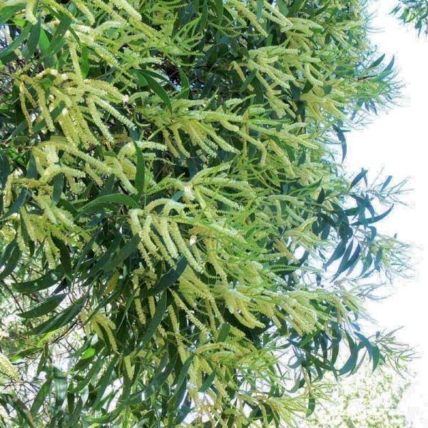 Acacia maidenii Acacia maidenii Noosa39s Native Plants