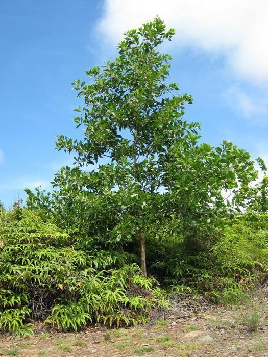 Acacia mangium Black wattle Acacia mangium