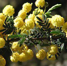 Acacia nigricans httpsuploadwikimediaorgwikipediacommonsthu