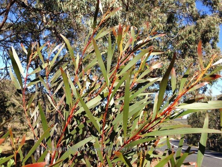 Acacia obtusifolia - Alchetron, The Free Social Encyclopedia