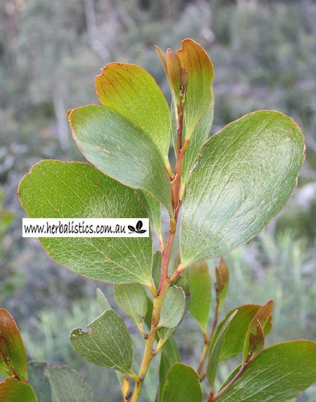 Acacia phlebophylla Acacia phlebophylla in habitat Herbalistics