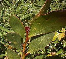Acacia phlebophylla httpsuploadwikimediaorgwikipediacommonsthu
