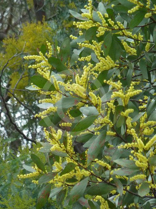 Acacia phlebophylla Acacia phlebophylla Buffalo Sallow Wattle information amp photos