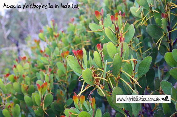Acacia phlebophylla Acacia phlebophylla Mt Buffalo Wattle plant Herbalistics