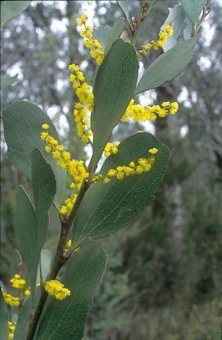 Acacia phlebophylla Acacia phlebophylla School of BioSciences
