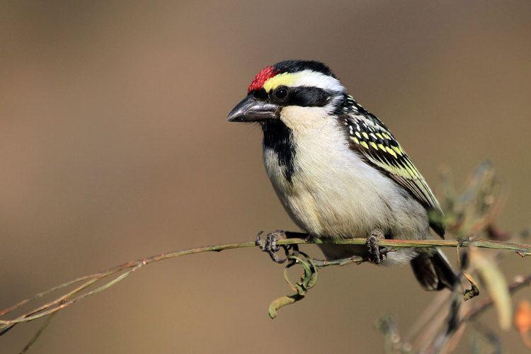 Acacia pied barbet Acacia Pied Barbet Bird amp Wildlife Photography by Richard and