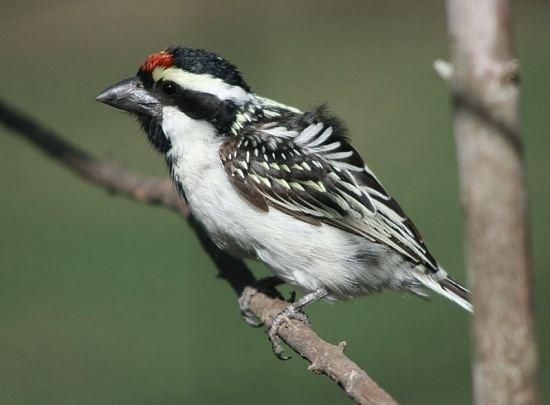 Acacia pied barbet Acacia Pied Barbet BirdForum Opus