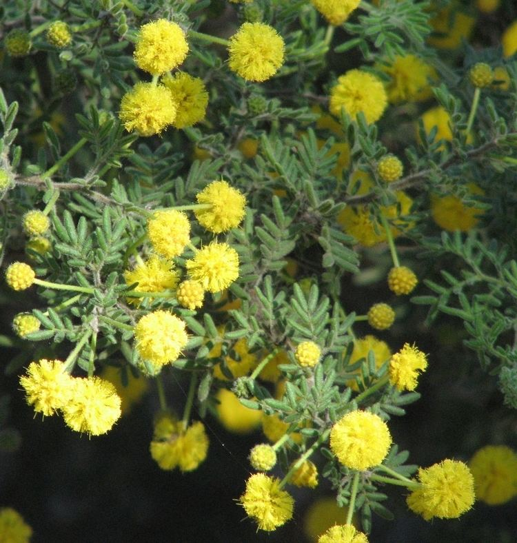 Acacia plicata httpsuploadwikimediaorgwikipediacommons66