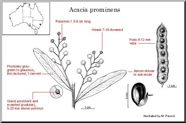 Acacia prominens Acacia prominens WATTLE
