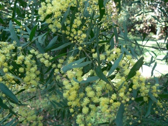 Acacia prominens lepidopterabutterflyhousecomauplantsmimoacac