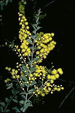 Acacia prominens Australian National Botanic Gardens Growing Acacia