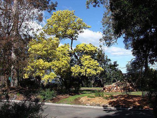 Acacia prominens Acacia prominens 39Golden Rain Wattle 39 Native to Austral Flickr