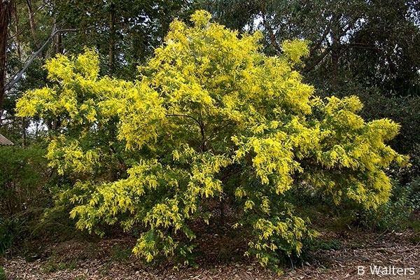 Acacia pubescens anpsaorgaujpg4imp0560jpg